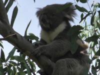 天王寺動物園のコアラ「アーク」