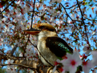 天王寺動物園のワライカワセミ「アキーゴ」