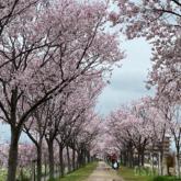 狭山池公園の桜