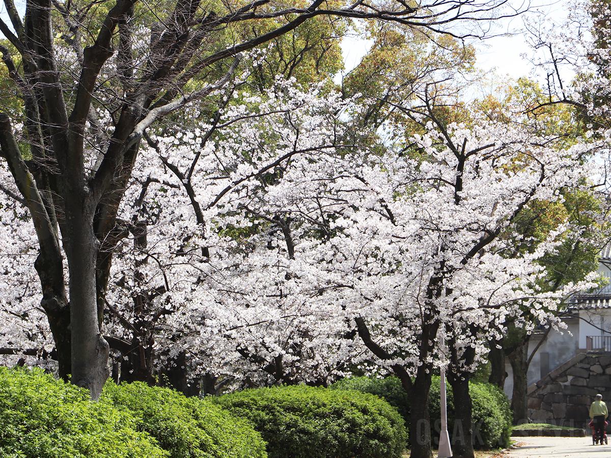 大阪城公園 西の丸庭園の桜