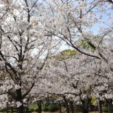 、大阪城公園 西の丸庭園の桜