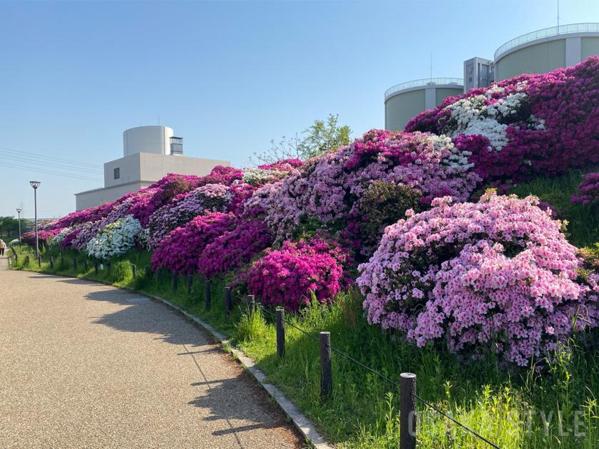 堺市・浅香山緑道(大和川)沿いのツツジ