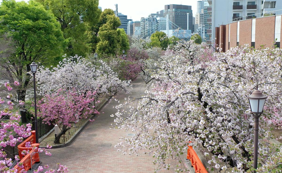 造幣局 桜の通り抜け」