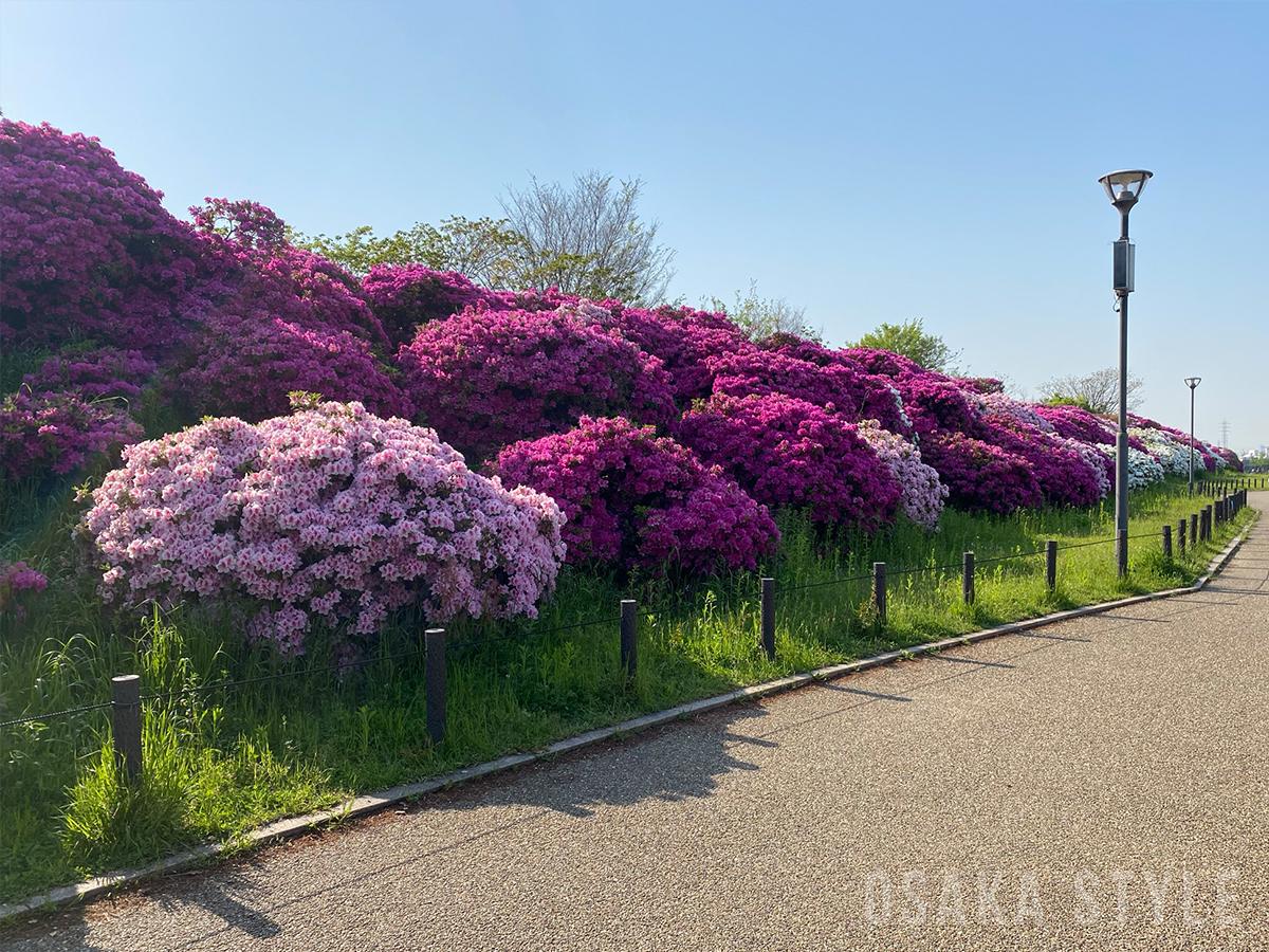 浅香山緑道沿いのツツジ