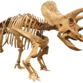 トリケラトプス 全身復元骨格