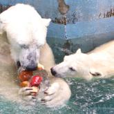 ホッキョクグマに氷柱プレゼント 天王寺動物園